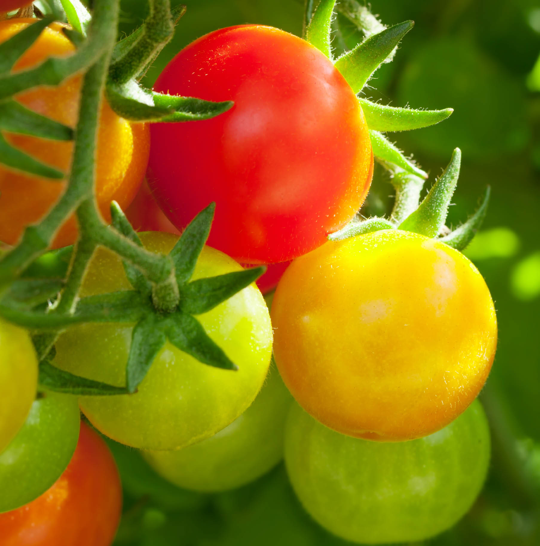 Why do tomatoes change colour?